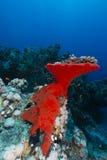 Rode boring spons in het Rode Overzees stock afbeelding
