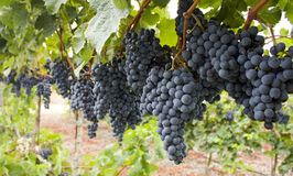 Rode bos van druiven. Royalty-vrije Stock Foto