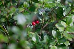 Rode bosbes Stock Foto
