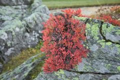 Rode bosbes in de herfst Stock Afbeeldingen