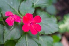Rode bosbloem royalty-vrije stock afbeelding