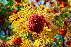 Rode bossen van Lijsterbes in de herfst 2 Stock Foto