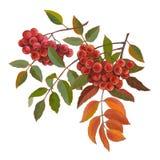 Rode bossen van lijsterbes met groene en rode bladeren royalty-vrije illustratie