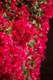 Rode bougainvillea Royalty-vrije Stock Afbeeldingen