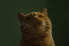 Rode Britse kat die omhoog op een groene achtergrond kijken Royalty-vrije Stock Foto's