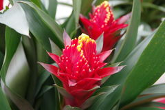 Rode bromelia Royalty-vrije Stock Afbeelding
