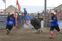 Rodeo bull fighters working bull Stock Images