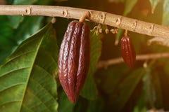 Rode cacao op tak Stock Afbeeldingen