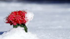 Rode Cactus royalty-vrije stock afbeelding