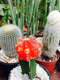 Rode Cactus Stock Foto's