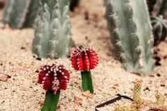 Rode cactus op grond Stock Afbeeldingen
