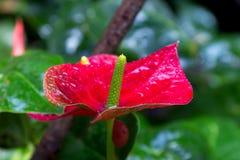 Rode callas in een tuin royalty-vrije stock foto's