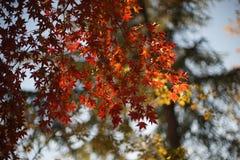 Rode Canadese esdoornbladeren in de herfst tegen de hemel en bokeh van de bladeren Royalty-vrije Stock Afbeeldingen
