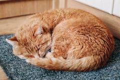 Rode Cat Curled Up Sleeping in Zijn Bed op Vloer Stock Foto's