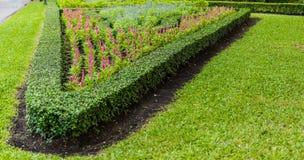 Rode Celosia-argentea Stock Afbeeldingen