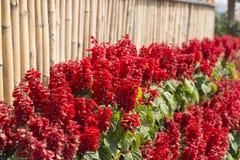 Rode Celosia-bloem Stock Afbeelding