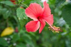 Rode Chinees nam toe, Schoenbloem of een bloem van rode hibiscus met groene bladeren, Stock Foto