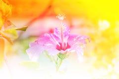 Rode Chinees nam toe, Schoenbloem of een bloem van rode hibiscus met groene bladeren, Wetenschappelijke naam als Hibiscus rosa-si Royalty-vrije Stock Foto's