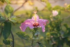 Rode Chinees nam toe, Schoenbloem of een bloem van rode hibiscus met groene bladeren, Wetenschappelijke naam als Hibiscus rosa-si Stock Foto