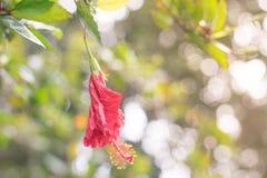 Rode Chinees nam toe, Schoenbloem of een bloem van rode hibiscus met groene bladeren, Wetenschappelijke naam als Hibiscus rosa-si Royalty-vrije Stock Afbeelding