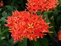Rode Chinese Ixora-bloem Royalty-vrije Stock Foto's
