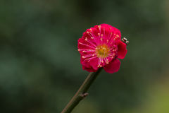 Rode Chinese Plum Blossom Royalty-vrije Stock Afbeeldingen