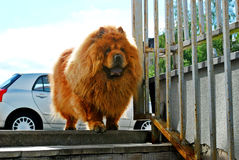 Rode chow-chow die in Europese stad leven Stock Foto