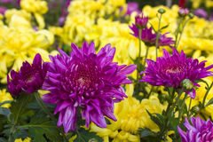 Rode chrysant Royalty-vrije Stock Afbeeldingen