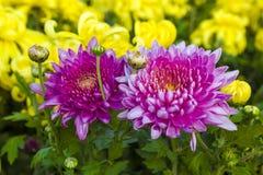 Rode chrysant Royalty-vrije Stock Fotografie