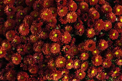 Rode chrysant Stock Foto's
