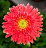 Rode chrysant Stock Afbeelding