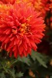 Rode chrysant stock foto