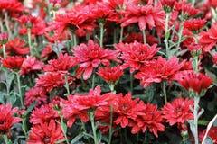 Rode chrysant in de tuin stock fotografie