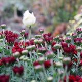 Rode chrysant in de tuin stock foto