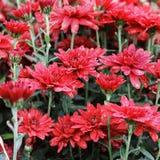 Rode chrysant in de tuin royalty-vrije stock afbeeldingen