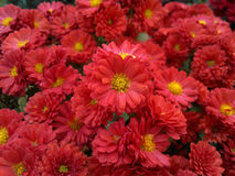 Rode chrysant met dalingen Royalty-vrije Stock Afbeelding