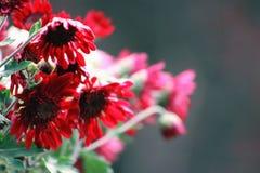Rode Chrysanten Royalty-vrije Stock Foto