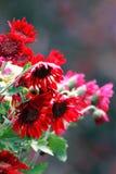 Rode Chrysanten Stock Afbeelding