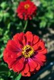 Rode chrysantenbloem Stock Afbeeldingen