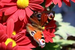 Rode chrysantenbloemen royalty-vrije stock afbeelding