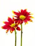 Rode chrysantenbloemen die op wit worden geïsoleerd Stock Foto's