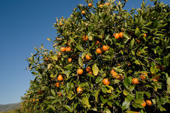 Rode citrusvrucht op de boom Stock Foto's
