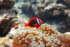 Rode Clownï ¼ ˆ Amphiprion frenatusï ¼ ‰ Stock Fotografie