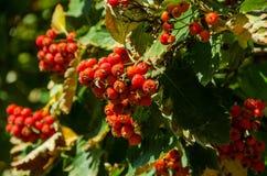 Rode clusters van dauw royalty-vrije stock afbeeldingen