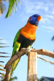 Rode Collared Lorikeet Royalty-vrije Stock Foto