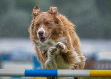 Rode Collie Agility Jumping Royalty-vrije Stock Afbeelding