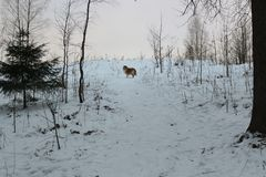 Rode Collie in sneeuwbos Stock Afbeeldingen