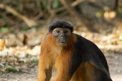Rode Colobus-Apen in het bospark van Bigilo, Gambia Royalty-vrije Stock Afbeeldingen