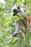 Rode colobus - endemisch van Zanzibar Stock Afbeelding