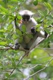 Rode colobus - endemisch van Zanzibar Stock Foto